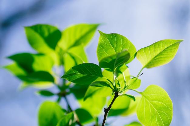 夏の緑の葉、テクスチャ、青い空を閉じる