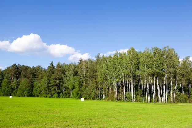 여름 풍경, 숲과 푸른 하늘에 푸른 나무. 농업 분야의 영토에서 잔디가 자라며 일부는 이미 저장을 위해 셀로판에 포장되어 있습니다.