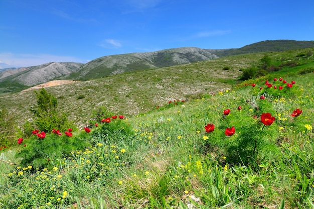 Summer landscape hills and meadow with green grass strewn with red poppy flowers and dandelions