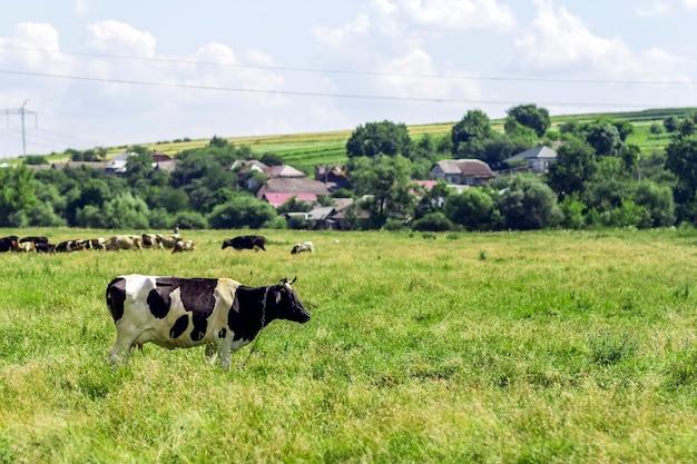 신선한 녹색 목초지에 방목하는 암소와 여름 풍경