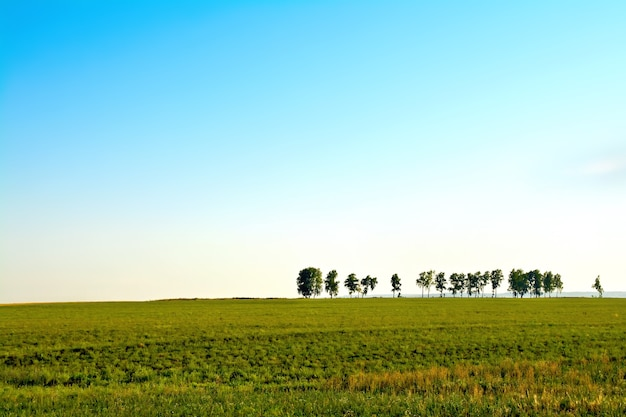 Summer landscape with field, solitary trees and blue sky