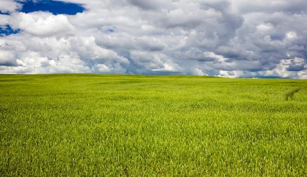 녹색 설 익은 시리얼과 여름 풍경