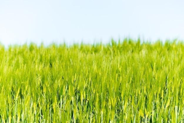 空と緑のハーブと夏の風景。