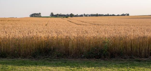Летний пейзаж с пшеничным полем и синим цветом