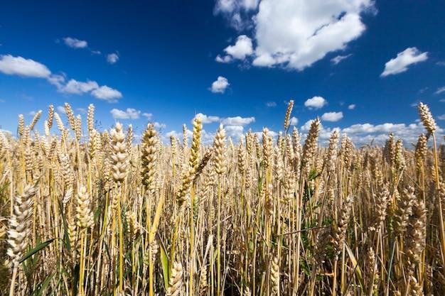 푸른 하늘과 구름과 밀밭과 여름 풍경