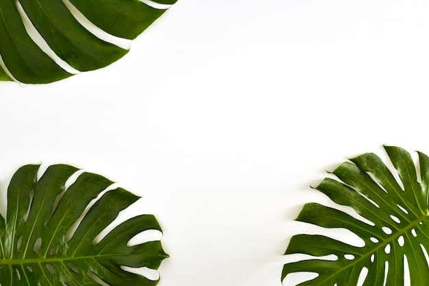 Summer large green tropical monstera leaf on white background