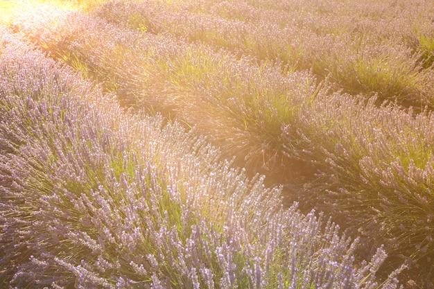 프랑스 프로방스의 여름 라벤더 밭. 선택적 초점으로 촬영