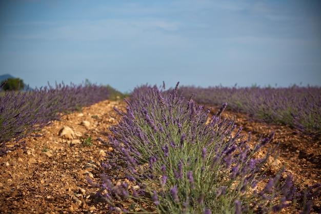 フランス、プロヴァンスの夏のラベンダー畑。ショット
