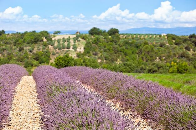 フランス、プロヴァンスの夏のラベンダー畑