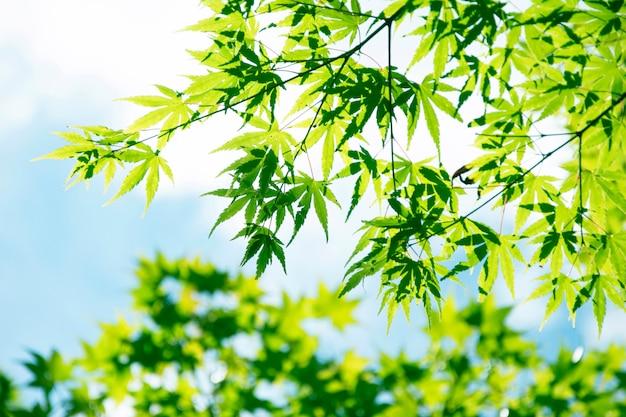 Summer maple leaves.