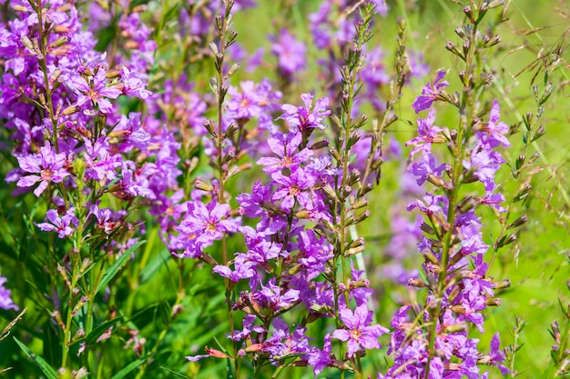 Summer meadow with purple flowers in the green grass
