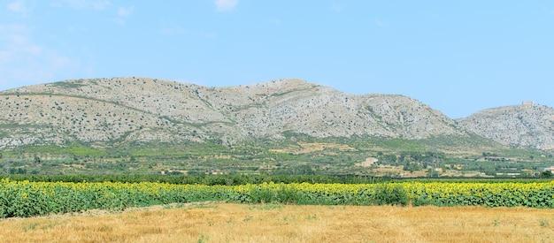 Летний природный пейзаж с полем подсолнечника и горами