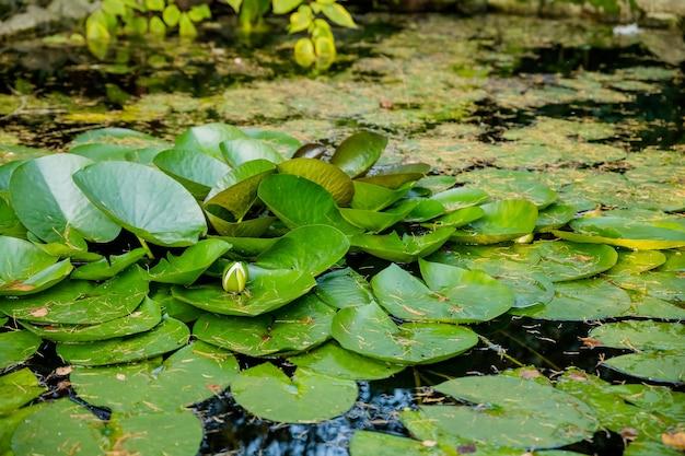 Летний пруд с цветками кувшинок на воде мирных зеленых растений, подушечки лилий и кувшинки ...