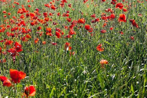 결함이 있는 여름 빨간 양귀비, 들판의 빨간 양귀비