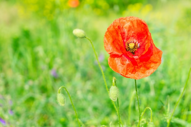 Summer red poppy filed with fresh green grass