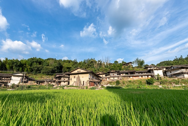 In summer, the rice in the paddy field in the countryside