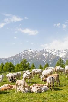이탈리아 알프스의 여름 시즌. 성인 암소 사이의 자유로운 송아지.