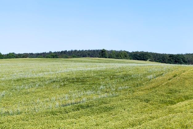 Летний сезон ржи на фоне голубого неба, ржаное поле с зелеными незрелыми колосками ржи