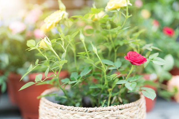 Summer spring flower. colorful rose in the pot on sunny day