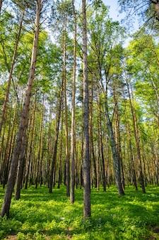 ロシアのシベリアの夏のトウヒの森の風景