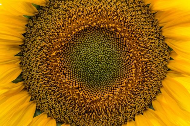 Summer sunflower field. field of sunflowers with blue sky.
