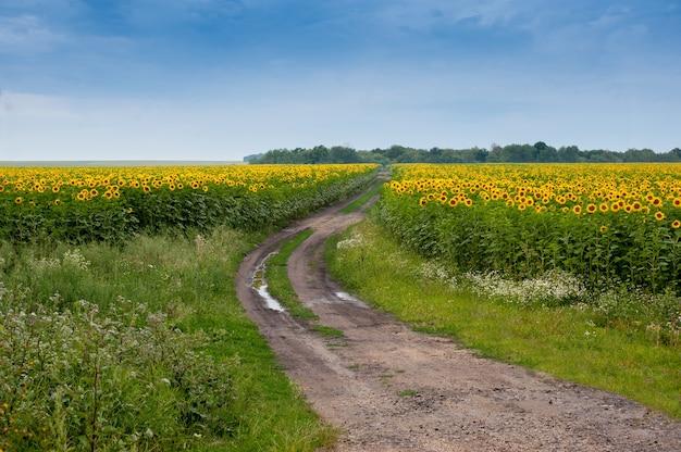 Летнее поле подсолнухов с грунтовой дорогой