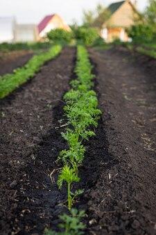 夏時間。農場でニンジンを育てています。