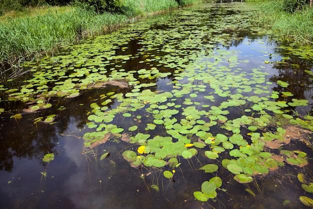 숲 근처에 서 있는 물과 수련이 있는 호수의 여름 시간, 수련이 자라는 호수