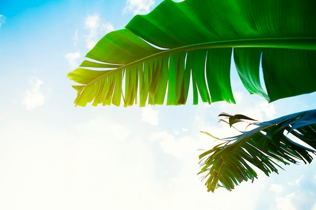 Summer times concept. two green banana leaf with blue sky background.