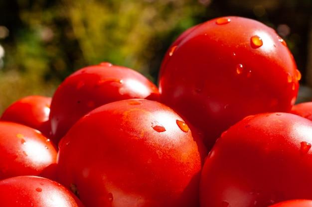 夏のトマト農業農場