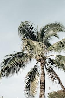 Летняя тропическая экзотическая кокосовая пальма на фоне голубого неба