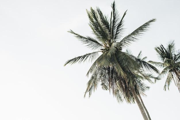 Летняя тропическая экзотическая кокосовая пальма против белого неба. нейтральный свежий изолированный. концепция лета и путешествий на пхукете