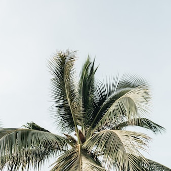 Summer tropical green coconut palm tree against blue sky. neutral background with blank space for text. summer and travel concept