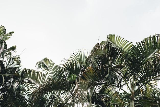 Летние тропические зеленые кокосовые пальмы на фоне белого неба