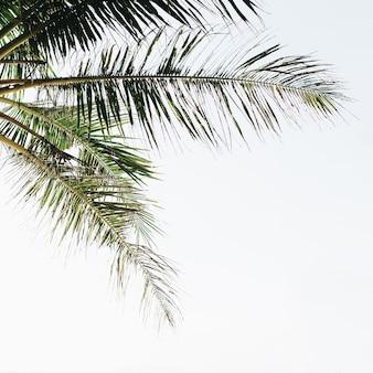 Летняя тропическая зеленая пальма на фоне белого неба