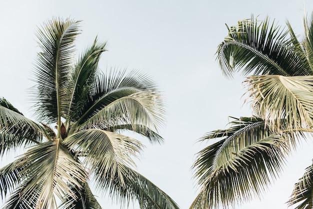Летние тропические две большие зеленые кокосовые пальмы на фоне голубого неба
