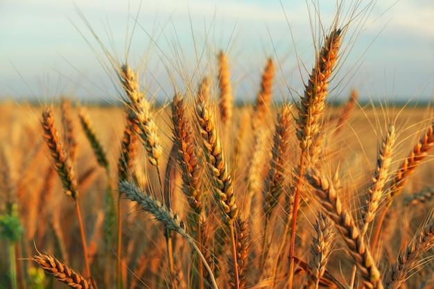 Поле летней пшеницы на закате