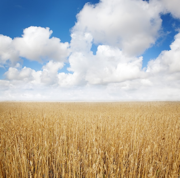 Summer wheat field harverst and cloudscape