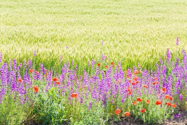 美しい赤いポピーと紫色の花が咲く夏の麦畑。