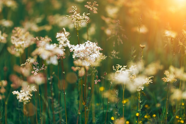 Summer white wildflowers cow parsley during sunrise
