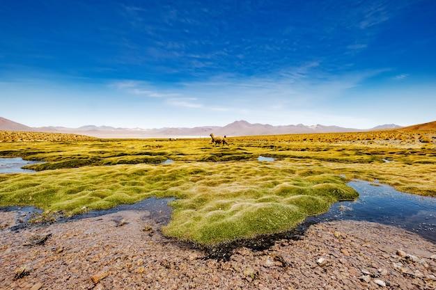 Летний широкий горный боливийский пейзаж с альпакой