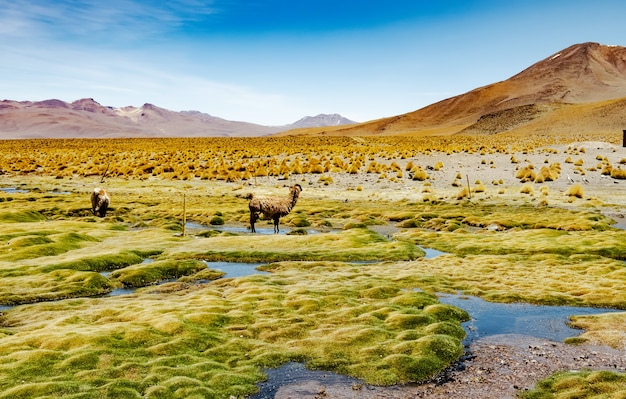 Летний широкий горный боливийский пейзаж с альпаками