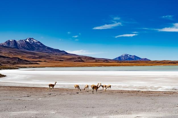 Летний широкий горный боливийский пейзаж с гуанако