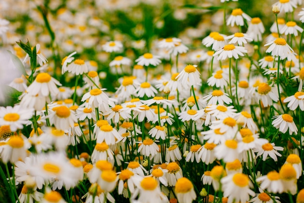 Summer with beautiful daisies field in wam sunlight.