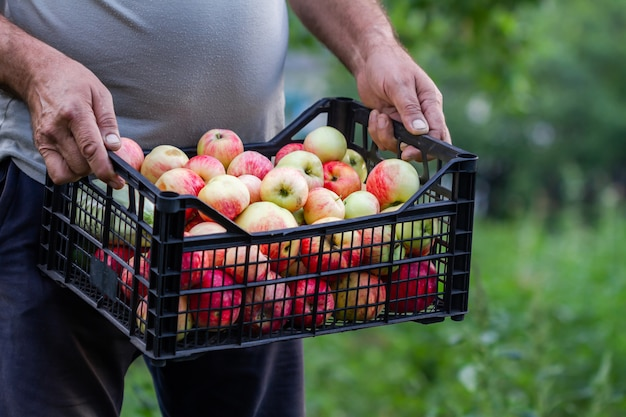A summerman holds plastic box with apples and zucchini on the green plants background