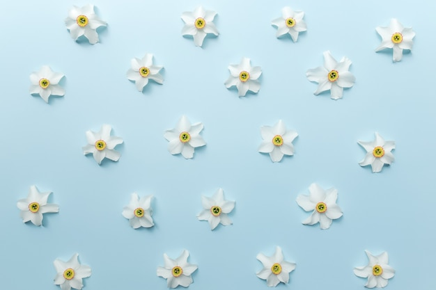 Квартира концепции летней коллекции лежала на синем фоне с богато украшенными цветочными головками белого нарцисса. фото высокого качества