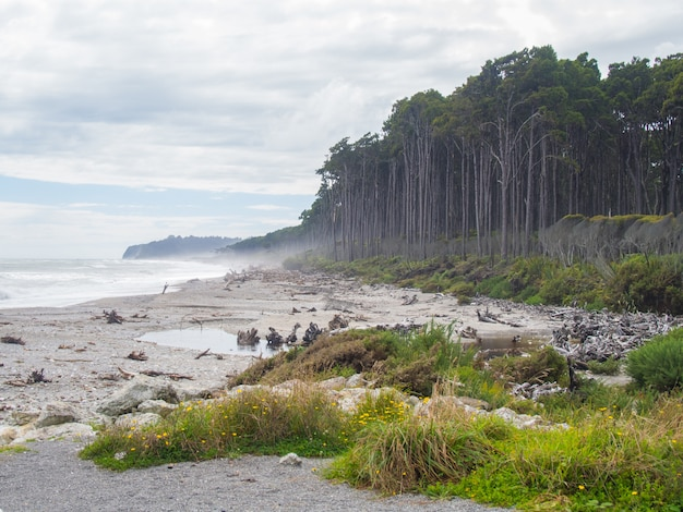 Summertime view of bruce bay, red pine forest lining beach, south island new zealand