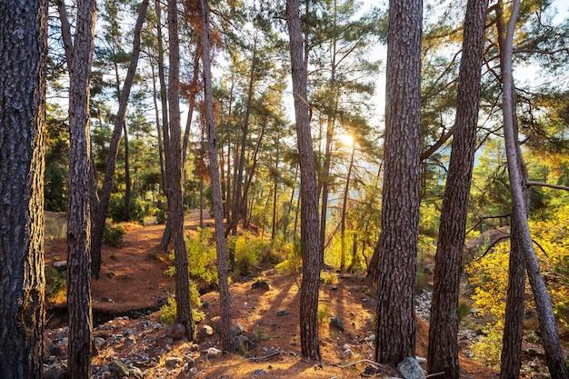 Лучи солнца в ясный день в зеленом лесу