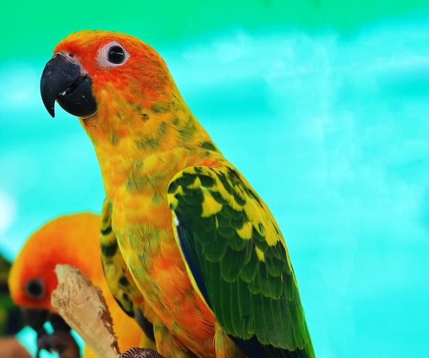 Sun conure parrot birds on the branch