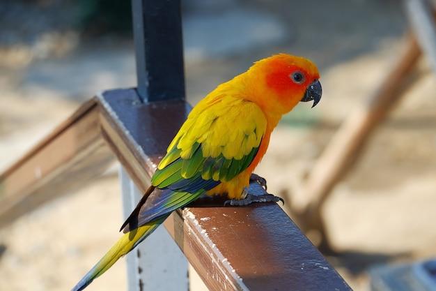 Sun conure parrot ,colorful bird